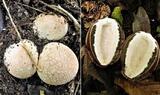 Ovuli chiusi e sezionati di Phallus impudicus