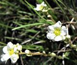 Saxifraga paniculata, Saxifragaceae.