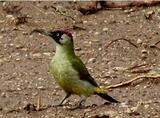 Picchio verde