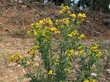 Hypericum perforatum subsp. veronense (Schrank) Ces